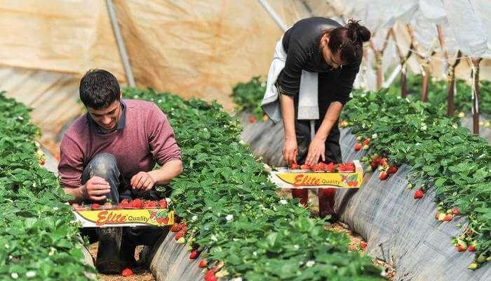 Fruit picker jobs in Canada